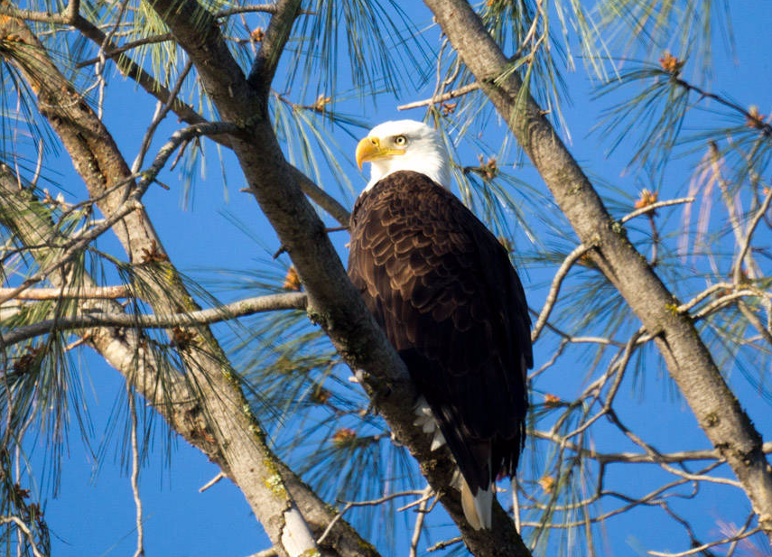 Bald Eagle Pardee Lake